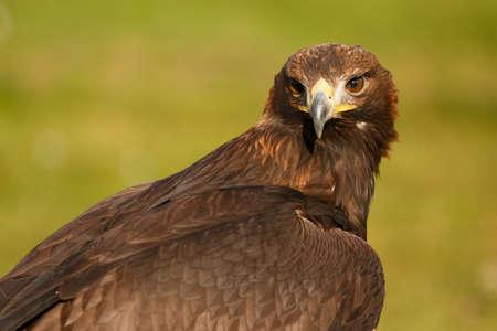 aguila real: Águila real