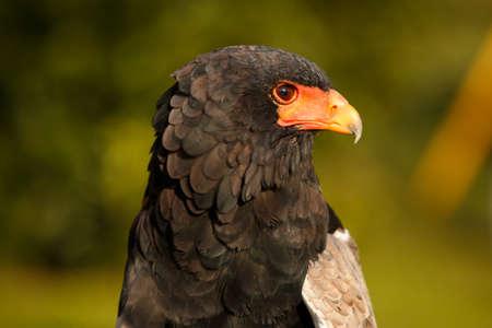 beak: Acrobat eagle beak network Stock Photo