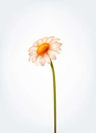 Fresh Daisy flower, marguerite, chamomile isolated. Stockfoto - 125298572