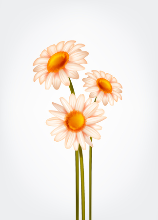 Fresh Daisy flowers, marguerite, chamomile isolated. Illustration