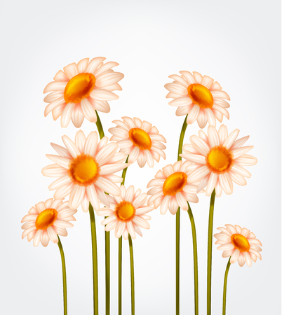 Fresh Daisy flowers, marguerite, chamomile isolated. Иллюстрация