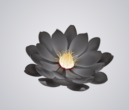 Blossoming beautiful black waterlily or lotus flower isolated.