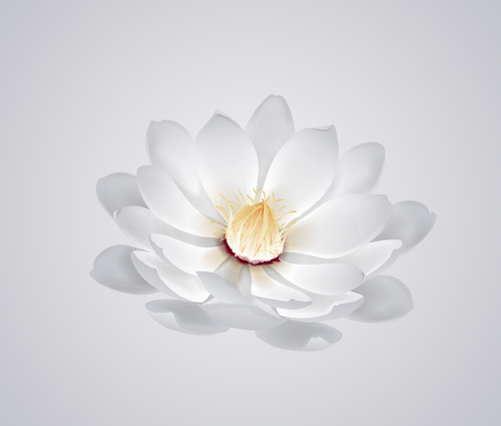 Blossoming beautiful white waterlily or lotus flower isolated. Illustration