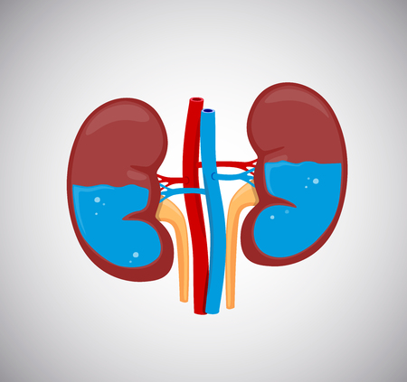 Kidneys with water inside.HEalthy kidneys.