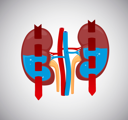 Kidneys cleaning blood with water inside. Blood circulates throught kidneys.
