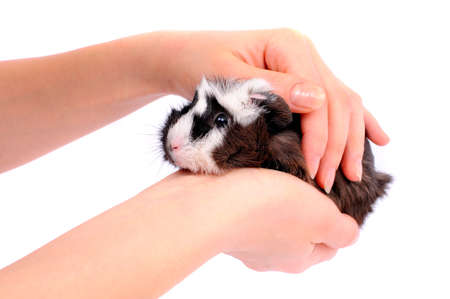 Guinea pigs on hands on a white background Stock Photo - 20817427