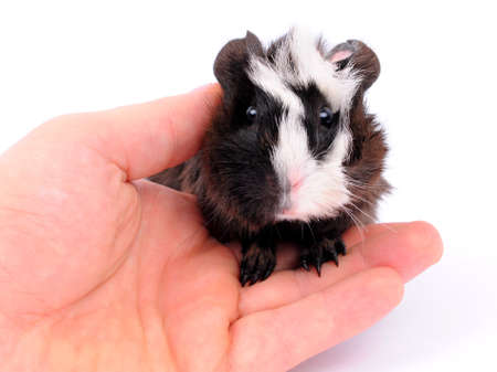 Guinea pigs on hands on a white background photo