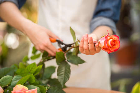 Close-up. Young female florist  cutting rose with tongs in shop. Imagens