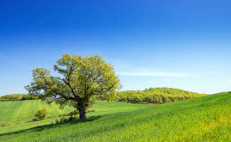 Single tree in green grass field, clear blue sky background with copy space. Nature summer sunny landscape Archivio Fotografico