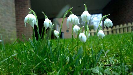 snowdrops: Snowdrops in the grass
