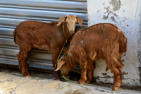 brown goat: Two brown goat eating and waiting at the market Stock Photo
