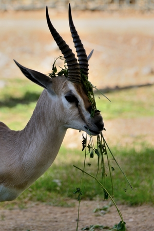 An antilope messed up with its food.