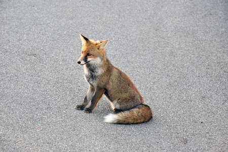 exemplary: portrait of red fox
