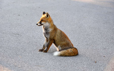 red fox: red fox sitting on the road
