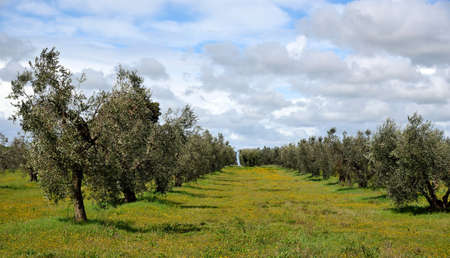 olive groves: landscape of olive groves and flowering meadow in spring