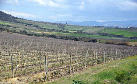 biological vineyard: rural landscape with vineyard