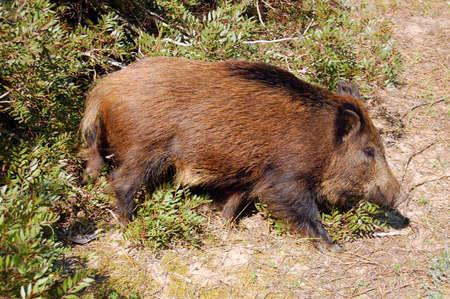 exemplary: wild boar