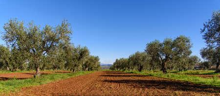 olijfgaard in het voorjaar