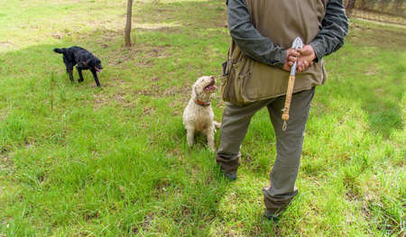 truffle hunter and his dogs search for truffles with digging tool