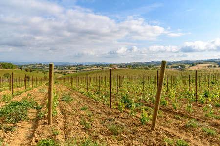 vineyard near Scansano in Tuscany, Italy Stock Photo