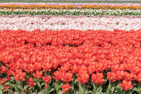 Cultivation of tulips in the flower bulb region of Bollenstreek, Netherlands