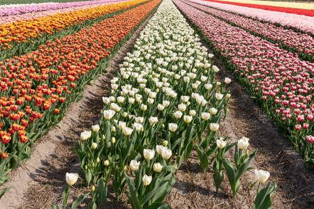 field of multi colored tulips, Bollenstreek, Netherlands