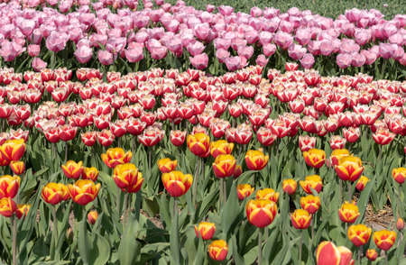 cultivation of tulips in the flower bulb region of Bollenstreek, Netherlands Stock Photo