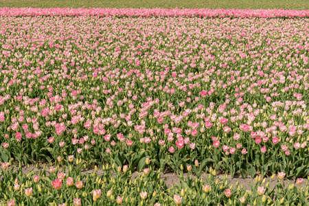 cultivation of pink tulips, flower bulb region of Bollenstreek, Netherlands