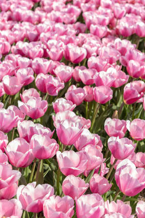 pink tulips in springtime, Netherlands Stock Photo