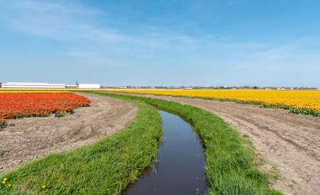 landscape in the flower bulb region of Bollenstreek, Netherlands