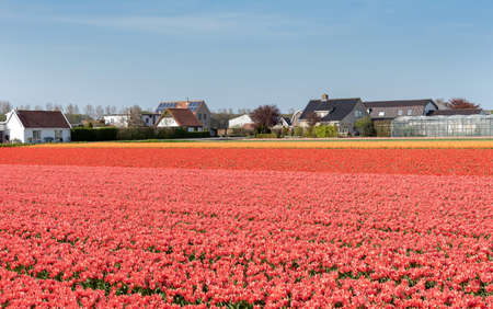tulip cultivation in the flower bulb region of Bollenstreek, Netherlands