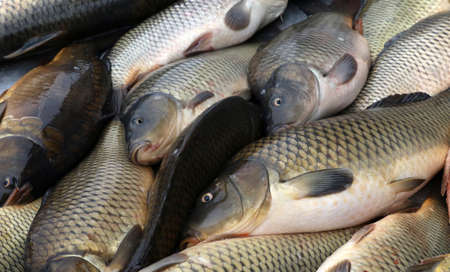 coger: La carpa de pescado fresco. La captura de los peces carpa