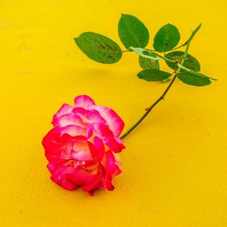 Macro rose with yellow background 4