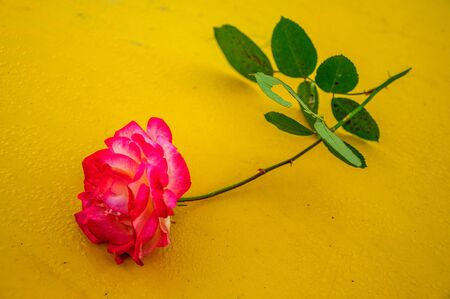 Macro rose with yellow background 3