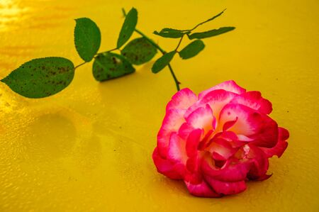 Macro rose with yellow background 2