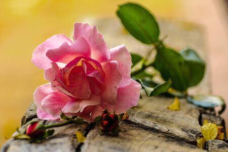 Macro rose with leaf 1