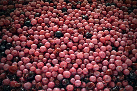 Process of fermentation the pulp from berries for cooking wine Reklamní fotografie