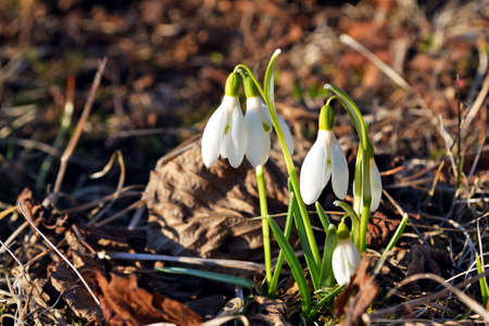 Spring white lilies of the valley on a background of dry leaves Reklamní fotografie