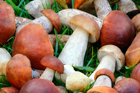 A large number of collected mushrooms lying on the grass in the forest. Photographed close up. photo