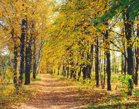 Trees covered with yellow leaves along the roads, Laden with yellow leaves. Stock Photo - 24752154