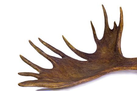 elk horn: Alces ramificados Big Horn con m�s sucursales.