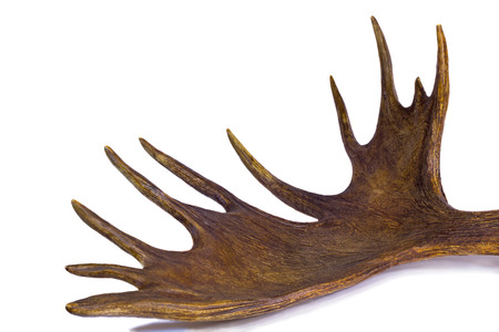 branchy: Big branchy elk horn with more branches.