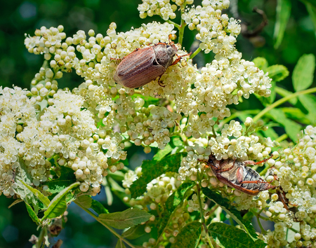 Two may-bugs eat flowers of a mountain ash. photo