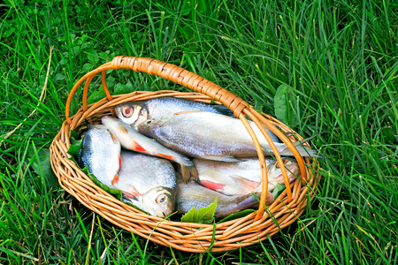 On a green grass the wattled basket with fish hooked in the river is situated on the bank of the river  photo