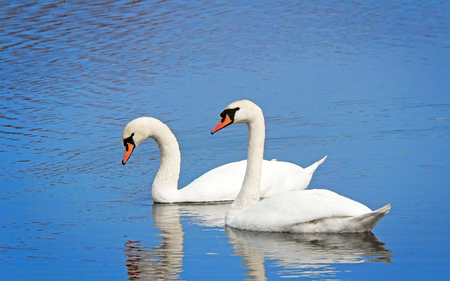 A pair of beautiful wild white swans floating on the blue surface of the lake. photo