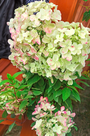 floriculture: Large inflorescences flowering hydrangeas and green leaves.