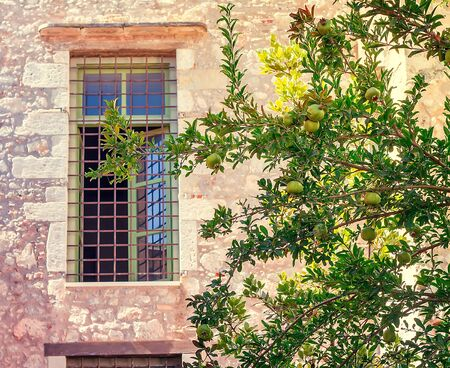 riped: Green pomegranate tree with ripening pomegranate fruit grows in front of the window the old stone house .