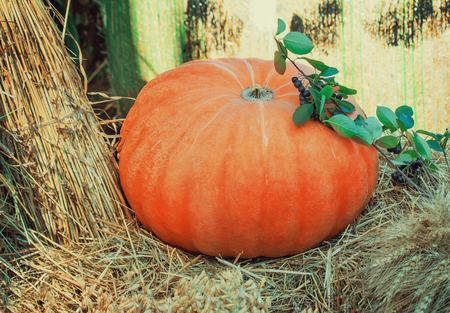 large pumpkin: Among sheaves and ears of grain crops is large ripe bright orange pumpkin, decorated with green twigs.