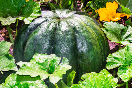 large pumpkin: In the garden grows a large pumpkin dark green, surrounded by green leaves and yellow flower pumpkin. Stock Photo