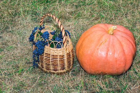 large pumpkin: On the lawn in the middle of mowed grass is a large ripe bright orange pumpkin and a basket filled with ripe grapes.